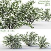 Philadelphus Bouquet Blanc # 1 | Jasmine