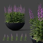 Digitalis purple flowers in flowerpots | Digitalis purpurea