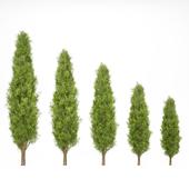 Mediterranean cypress No.2