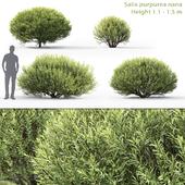 "Willow purple ""nana"" | Salix purpurea nana # 1"