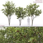 Prunus cerasus   Cherry-tree # 1