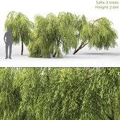 Willow | Salix # 1 (2.6m)