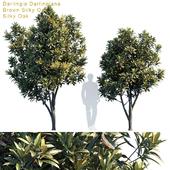 Darlingia Darlingiana   Brown Silky Oak