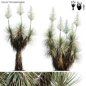 Yucca Thompsoniana   Beaked yucca