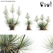Yucca Thompsoniana   Beaked yucca flower