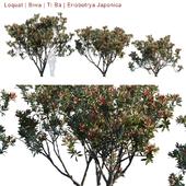 Loquat   Biwa   Eriobotrya Japonica V2