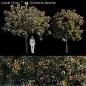 Loquat   Biwa   Eriobotrya japonica