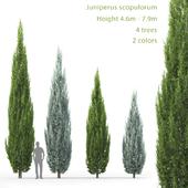 Можжевельник скальный | Juniperus scopulorum #2