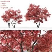 Ginnala Maple | Acer Ginnala # 2
