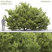 Сосна горная | Pinus Mugo #6 (3.9m)
