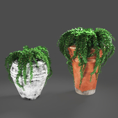 plant432 -ivy in pots