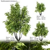 Birch multi-stemmed