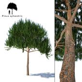 Сосна обыкновенная | Pinus sylvestris