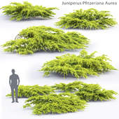 Можжевельник средний Ауреа | Juniperus Pfitzeriana Aurea #1