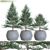 Blue Juniper pots