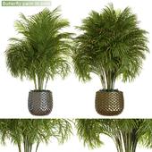 Butterfly palm in pots