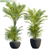 Butterfly palm in pots for outdoor