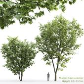 Клён | Maple-tree #5 (9.5m-13.5m)