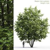 Клён | Maple #6 (12m)