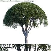 Pittosporum Tobira | Japanese Mock Orange