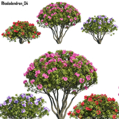 Rhododendron 04