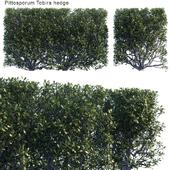 Pittosporum Tobira hedge