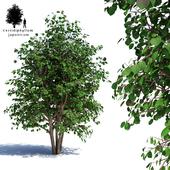 Багрянник японский мультиштамб | Cercidiphyllum japonicum