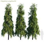 Polyalthia Longifolia #2