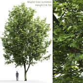 Клён | Maple #7 (14.7m)