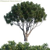 Pittosporum Tobira mature #1