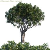 Pittosporum Tobira mature #2