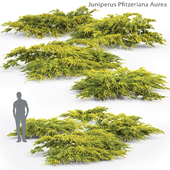 Можжевельник средний Ауреа | Juniperus Pfitzeriana Aurea #2