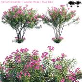 Nerium Oleander | Laurier rose