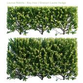 Laurus Nobilis | Bay tree | Grecian Laurel hedge