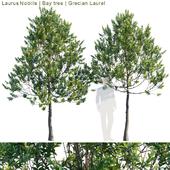Laurus Nobilis | Bay tree | Grecian Laurel tree # 2
