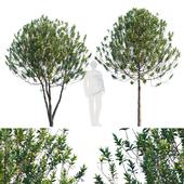 Common garden tree # 3