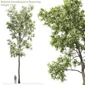 White Acacia   Robinia Pseudoacacia # 4 (17m)