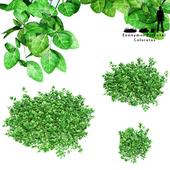 Бересклет Форчуна куст | Euonymus Fortunei Coloratus