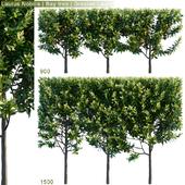 Laurus Nobilis | Bay tree | Grecian Laurel hedge # 2