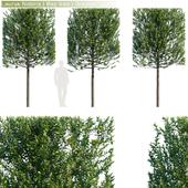 Laurus Nobilis | Bay tree | Grecian Laurel hedge # 3