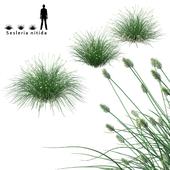 Сеслерия блестящая декоративные злаки | Sesleria nitida