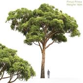 Сосна Итальянская Пиния | Pinus Pinea #1(16m)
