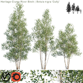 "Heritage Clump River Birch   Betula nigra ""Cully"" #2"