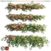 Virginia Creeper   Parthenocissus Quinquefolia hanging   2 season