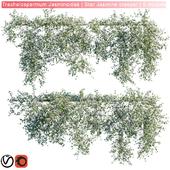 Trachelospermum Jasminoides | Star Jasmine creeper | 6 module