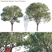 Paperbark Maple   Acer Griseum #2