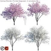 Cornus florida   Florida Dogwood   4 variations #2