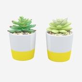 2 Piece Succulent Plant in Pot