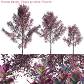 "Tricolor Beech   Fagus sylvatica ""Tricolor"""