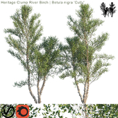 "Heritage Clump River Birch | Betula nigra ""Cully"" # 3"